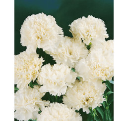 Dianthus ´Perfume Pinks® ´Memories´ / Voňavý hřebíček, bal. 6 ks, 6x K7