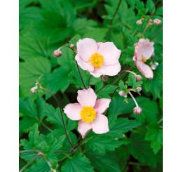 Anemone hupehensis ´Pink Saucer´ / Sasanka bílá až růžová, K9