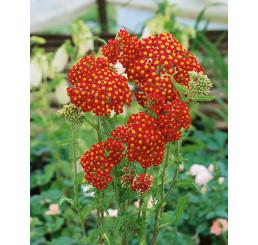 Achillea millefolium ´Summer Fruits Carmine´ / Řebříček obecný červený, K9