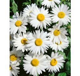 Leucanthemum maximum / Kopretina bílá ´SHASTA DAISY´, bal. 0,8 g