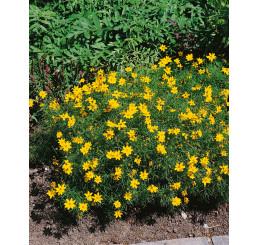 Coreopsis verticillata ´Zagreb´ / Krásnoočko přeslenité, K9
