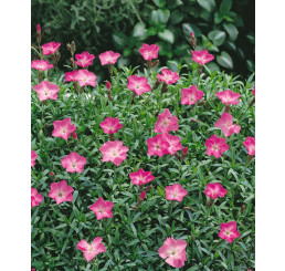 Dianthus gratianopolitanus Rosafeder / Hřebíček šedý, C1
