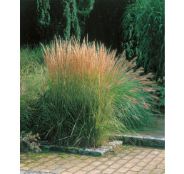 Calamagrostis acutiflora ´Overdam´ / Třtina ostrokvětá, K9