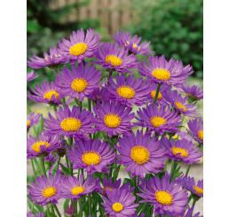 Aster alpinus ´Dark Beauty´ / Hvězdnice alpská tmavě fialová / Astra, K9