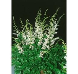 Astilbe simplicifolia 'White Wings'® / Astilbe, C1,5