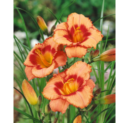 Hemerocallis 'Strawberry Candy' / denivka , K13