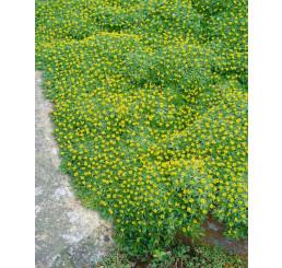Azorella trifurcata / Azorelka , K9