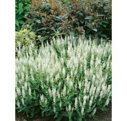 Salvia nemorosa ´Schneekugel´ / Šalvěj hajní, C1