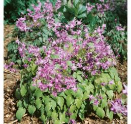 Epimedium grandiflorum ´Lilafee´ / Škornice velkokvětá, K9