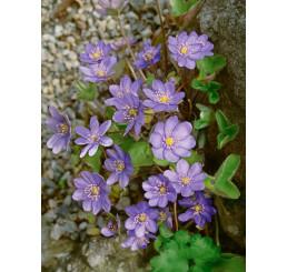 Hepatica nobilis / jaterník trojlaločný , K9