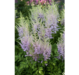 Astilbe chinensis 'Milk and Honey'® / čechrava čínská , C2
