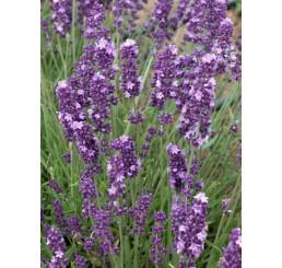 Lavandula angustifolia ´Ellegance Purple´ / Levandule úzkolistá, C1