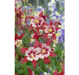 Aquilegia caerulea Crimson Star / Orlíček, C1,5