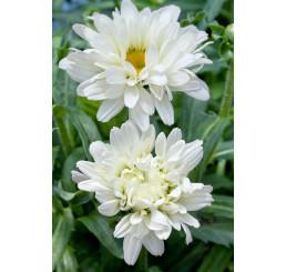 Leucanthemum x maximum ´Victorian Secret´ / Kopretina, C2