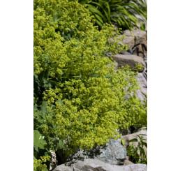 Alchemilla mollis ´Thriller´ / Kontryhel, K9
