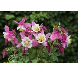 Aquilegia fl. ´Spring Magic Rose White´ / Orlíček růžový, bílý střed, K9