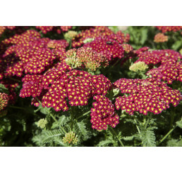 Achillea 'Tutti Frutti Pomegranate' / Řebříček obecný, K13