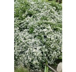 Aster ericoides 'Snowflurry' / Astra vřesovcovitých'Snehová prehánka' , K9