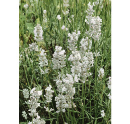 Lavandula angustifolia ´Sentivia® Silver´ / Levandule úzkolistá, C1,5