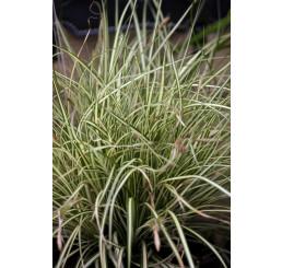 Carex oshimensis ´Evergold´ / Ostřice, C3