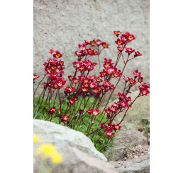 Saxifraga arendsii ´Higlander Red´ / Lomikámen, C1,5