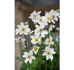 Anemone multifida Annabella White / Veternica , K9