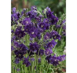 Aquilegia vulgaris Blue Barlow / Orlíček obecný , K9