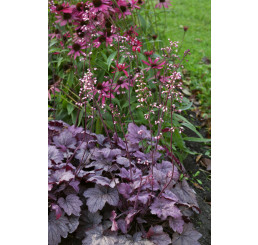 Heuchera 'Georgia Peach' / Heuchera , K11