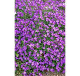 Aubrieta cultorum 'Sauerland' / Tařička, C1,5
