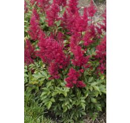 Astilbe japonica 'Red Sentinel' / Astilbe japonská, K14