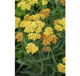 Achillea millefolium 'Terracotta' / Řebříček obecný , K9