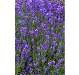 Lavandula angustifolia ´Munstead´ / Levandule úzkolistá, K9