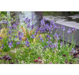 Iris sibirica / Kosatec sibiřský modrý, K9