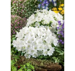 Campanula carpatica ´Pearl White´ / Zvonek karpatský bílý, K9