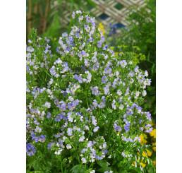 Polemonium caeruleum ´Azuro´ / Jirnice modrá, C1,5