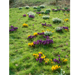Crocus botanicus mix / Směs botan. šafránů (krokusů), bal. 50 ks, 5/7