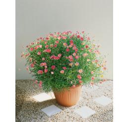 Argyranthemum ´Bright Carmine´ / Kopretinovec červený, bal. 6 ks sadbovačů