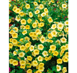 Calibrachoa ´Million Bells Lemon 2000´® / Petunie drobnokvětá, bal. 6 ks sadbovač.