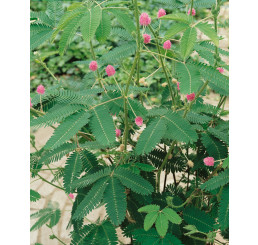 Mimosa pudica / Citlivka stydlivá / Mimóza, 10-15 cm, K7