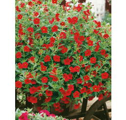 Calibrachoa ´Million Bells Red´® /  Petunie, K7