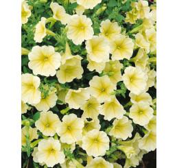 Petunia ´Surfinia Victorian Yellow´® / Petunie žlutá kompakt., K7
