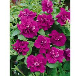 Petunia x atkinsiana ´Tumbelina ® Katharina / Petúnie plnokvětá, bal. 6 ks sadbovačů