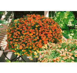 Calibrachoa MILLION BELLS® ´Crackling Fire´ /  Petunie, K7