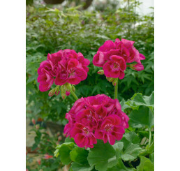 Pelargonium zonale ´pac®Flower Fairy® Berry´ / Muškát kroužkovaný, bal. 6 ks, 6xK7