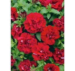 Petunia x atkinsiana ´Tumbelina®Inga´/ Petunie plnokvětá červená, bal. 6 ks sadbovačů