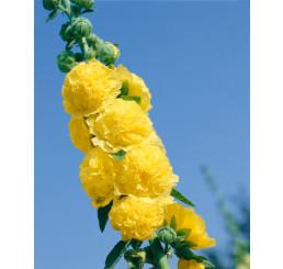 Alcea rosea ´Sunshine´ / Proskurník žlutý, K9