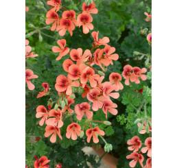 Pelargonium crispum Angeleyes® ´Orange´ / Muškát anglický, bal. 6 ks sadbovačů