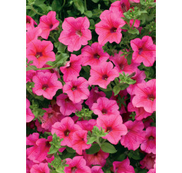 Petunia ´Hot Pink 05 Surfinia´® / Petunie sytě růžová jednoduchá, bal. 6 ks sadbovač.