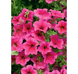 Petunia ´Hot Pink 05 Surfinia´® / Petunie sytě růžová jednoduchá, bal. 3 ks, 3xK7