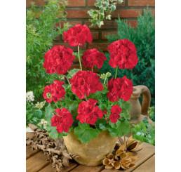 Pelargonium zonale ´Anthony´ / Muškát vzpřímený červený, K7